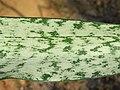 Sansevieria trifasciata - Snake Plant - Aralam Butterfly Survey at Kottiyoor, 2019 (6).jpg