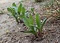 Saponaria officinalis kz05.jpg