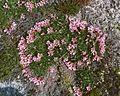 Saponaria pumila2.jpg