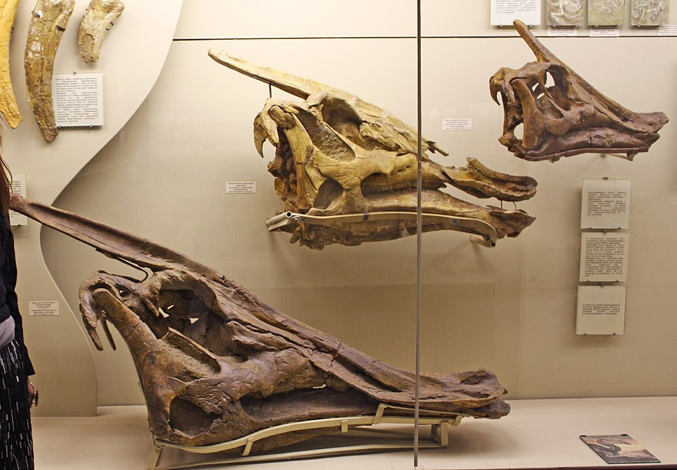 Saurolophus skulls