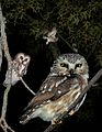 Saw-whet Owl From The Crossley ID Guide Eastern Birds.jpg
