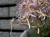 Saxifraga fortunei cv1