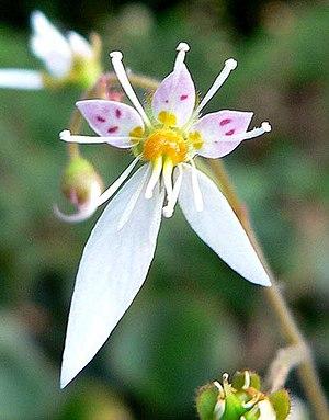Image of Saxifraga stolonifera: http://dbpedia.org/resource/Saxifraga_stolonifera