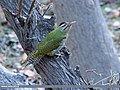 Scaly-bellied Woodpecker (Picus squamatus) (15275191293).jpg
