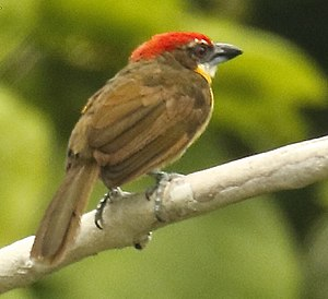 Scarlet-crowned barbet - Napo River Island / Near Sacha Lodge - Ecuador