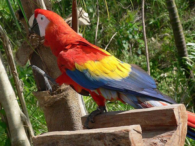 File:Scarlet Macaw (Ara macao) -raising leg.jpg