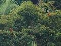 Scarlet Macaws (15941119494).jpg