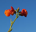 Scarlett runner bean flower.jpg