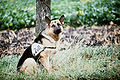 SchaeferhundZoll1984.jpg