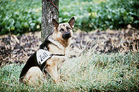 "German Shepherd dog leashed to a tree, looking at the photographer. The dog has a large triangular leather strap with the word ""Zoll"" tied across its midriff."