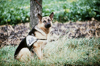 Bundeszollverwaltung - A West German customs dog (Zollhund) on the inner German border in 1984