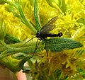 Sciaridae goldenrod male.jpg