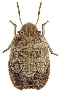 <i>Sciocoris microphthalmus</i> Species of true bug