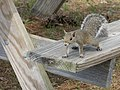 Sciurus carolinensis (on bench).jpg