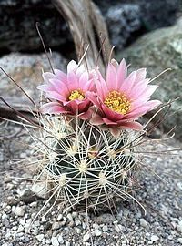 Sclerocactus nyensis fh 107 NV in cultur BB