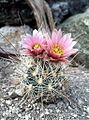 Sclerocactus nyensis fh 107 NV in cultur BB.jpg