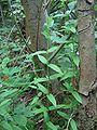 Scutellaria galericulata habitus.jpeg
