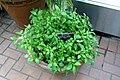 Scutellaria javanica - Brooklyn Botanic Garden - Brooklyn, NY - DSC08012.JPG