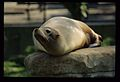 Sea Lion laying on rock, St. Louis Zoo (MSA) (5789077162).jpg