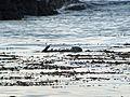 Sea Otter, Enhydra lutris - Flickr - GregTheBusker.jpg