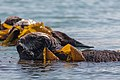 Sea Otters (Enhydra lutris), from a raft of about 15, (8627077798).jpg