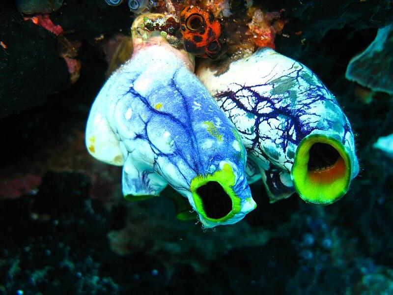 File:Sea Squirts.jpg