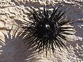 Sea urchin upside down.JPG