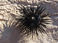Sea urchin upside down.JPG