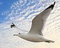 Seagull miami (17272765864).jpg