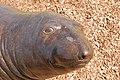 Seal (2384031059).jpg