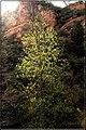 Sedona tree (3610535517).jpg