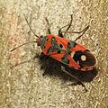 Seed Bug (16102434896).jpg