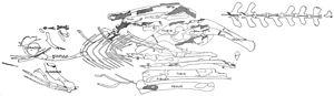 Segisaurus - Illustration of the holotype skeleton, shown as it was found