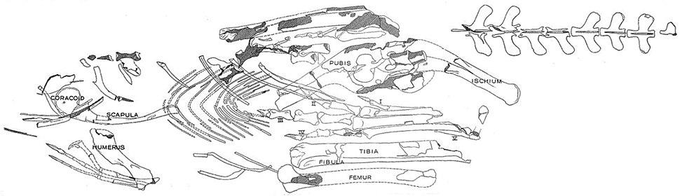 Segisaurus halli holotype