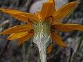 Senecio chilensis DSCN0917.jpg