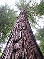 Sequoia sempervirens - Flickr - brewbooks.jpg