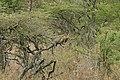 Serengeti Leopard 2.jpg