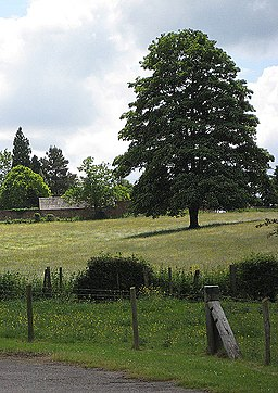 Shapely tree in a buttercup meadow - geograph.org.uk - 841828