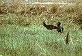 Sharp-tailed Ibis - Venezuela 90Image23 (15418279502) (2).jpg