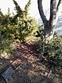 Shchepaniuk tree.jpg