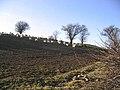 Sheep in turnip field - geograph.org.uk - 327375.jpg
