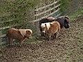 Shetland ponies at Rexon - geograph.org.uk - 371171.jpg