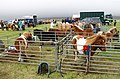 Shetland ponies at the Unst Show - geograph.org.uk - 942586.jpg