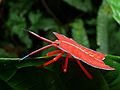 Shield Bug (Pycanum rubens) nymph (8416544300).jpg