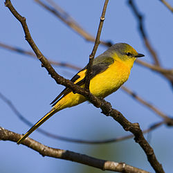 Short-billed Minivet (female) - Pericrocotus brevirostris.jpg