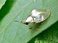 Silver Tortoise Beetle (Charidotella sp.) (7074097229).jpg