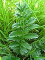 Silverweed leaf 800.jpg