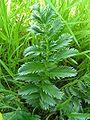 Silverweed leaf 800.jpg