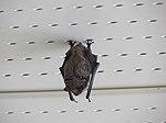 Sleeping Brown Bat (15903559363).jpg