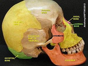 Lacrimal bone - Image: Slide 7llll